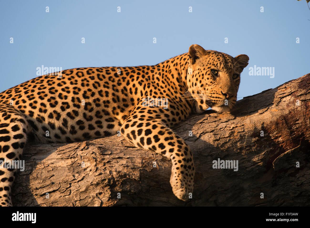 Leopardo africano femenino acostado en el árbol Foto de stock