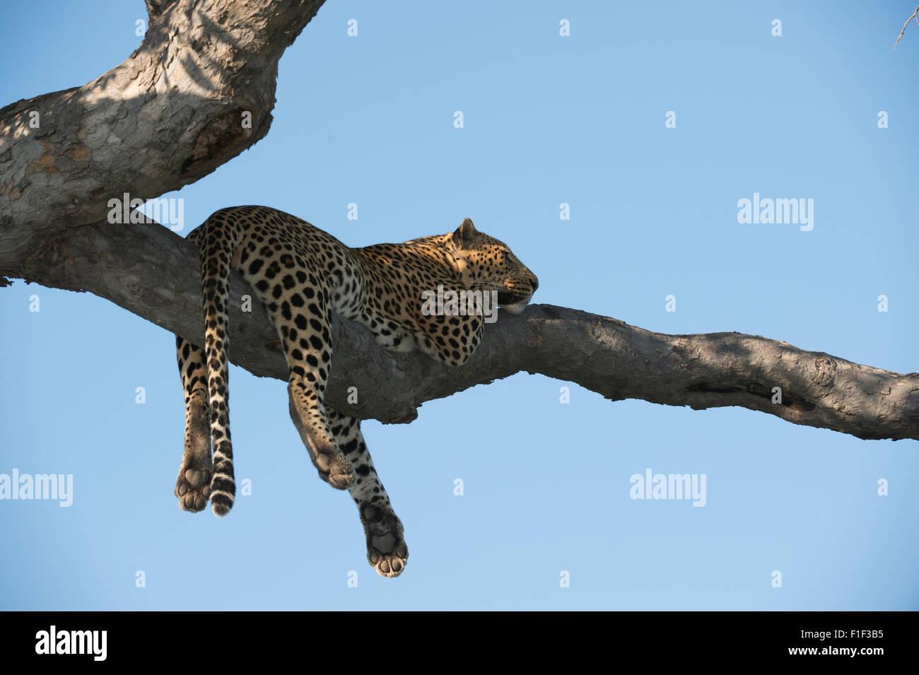 African leopardo Panthera pardus, Foto de stock