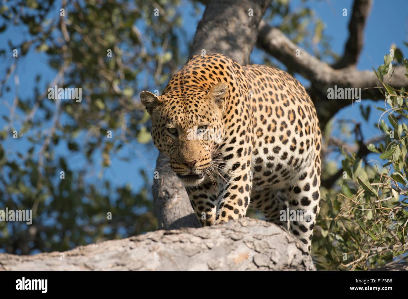 Varón africano leopardo Panthera pardus en árbol, permanente Foto de stock