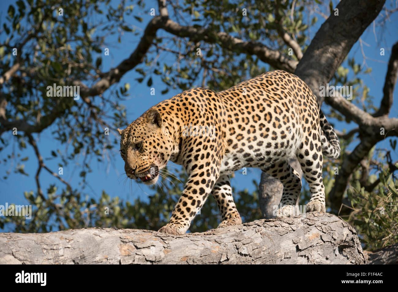 Varón africano,leopardo Panthera pardus, escalada down tree Foto de stock