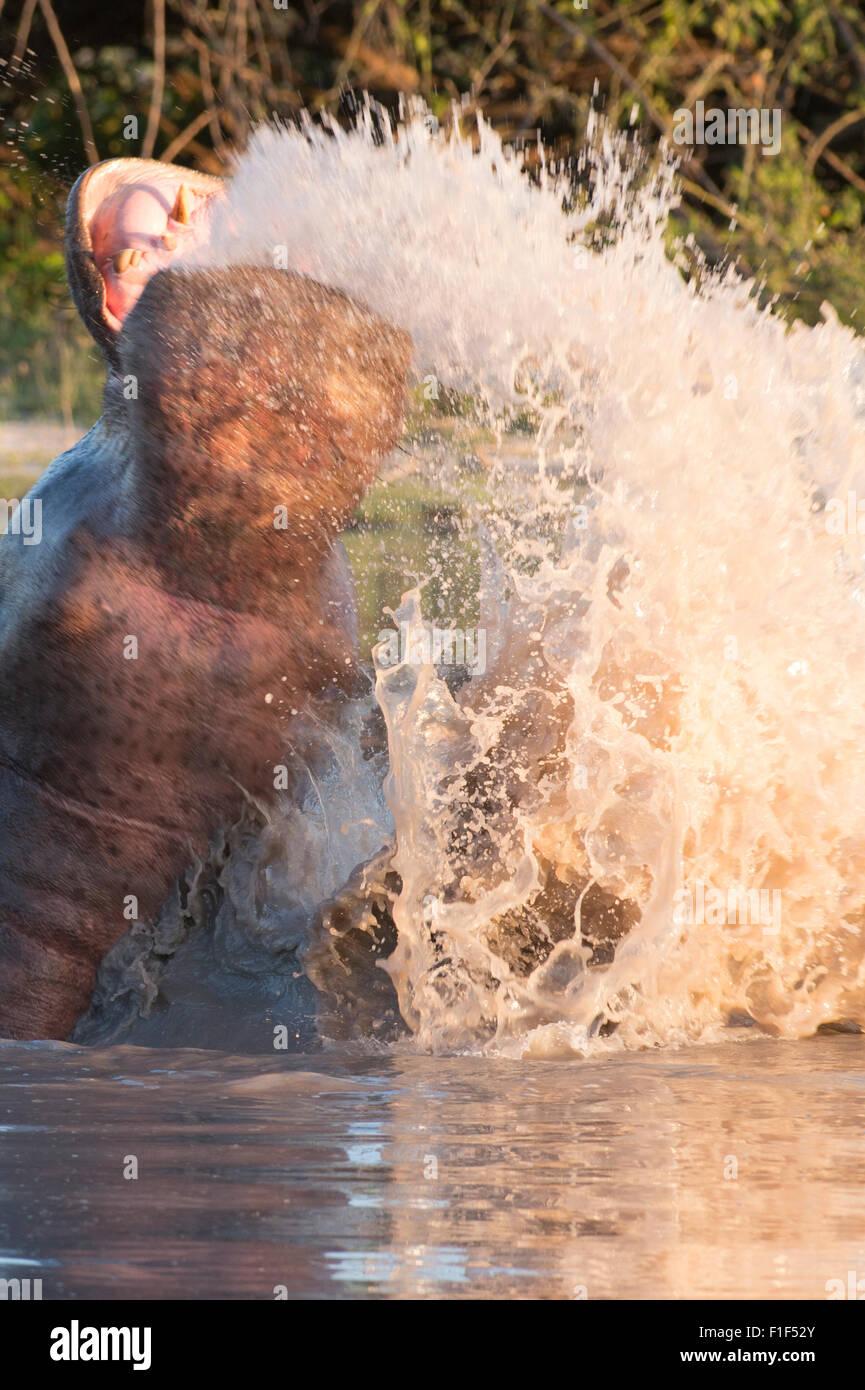 Hippopotamus amphibius, hipopótamo en agua infringir Foto de stock