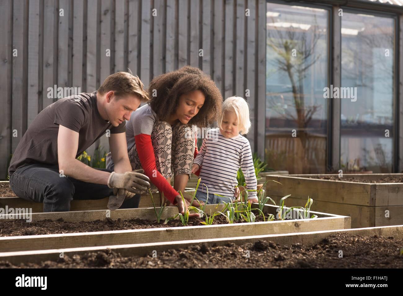 Niño y los padres cuidando plantas en cama levantada Imagen De Stock