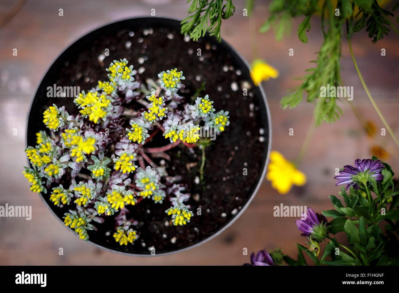 Un alto ángulo de visualización de plantas de maceta con pequeñas hojas amarillas Imagen De Stock
