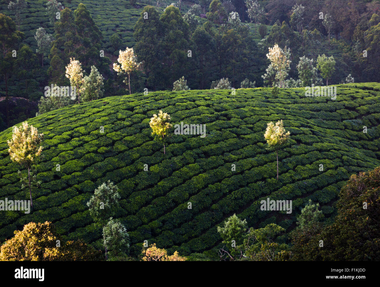 Plantación de té Pothamedu soslayar, la autopista nacional 49 cerca de Munnar, India. Silver Oak árboles Imagen De Stock