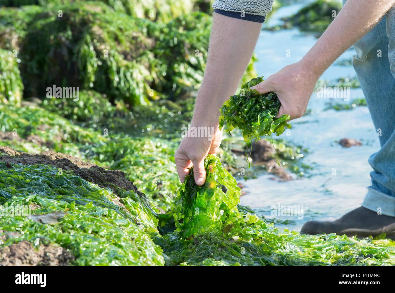 Ulva lactuca. Hombre de forrajeo / algas lechuga de mar en la costa de Northumberland. UK Foto de stock