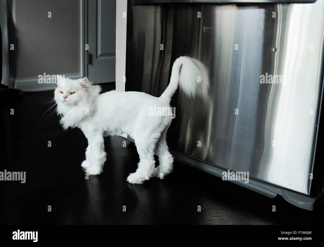 Corte de pelo para gatos persa