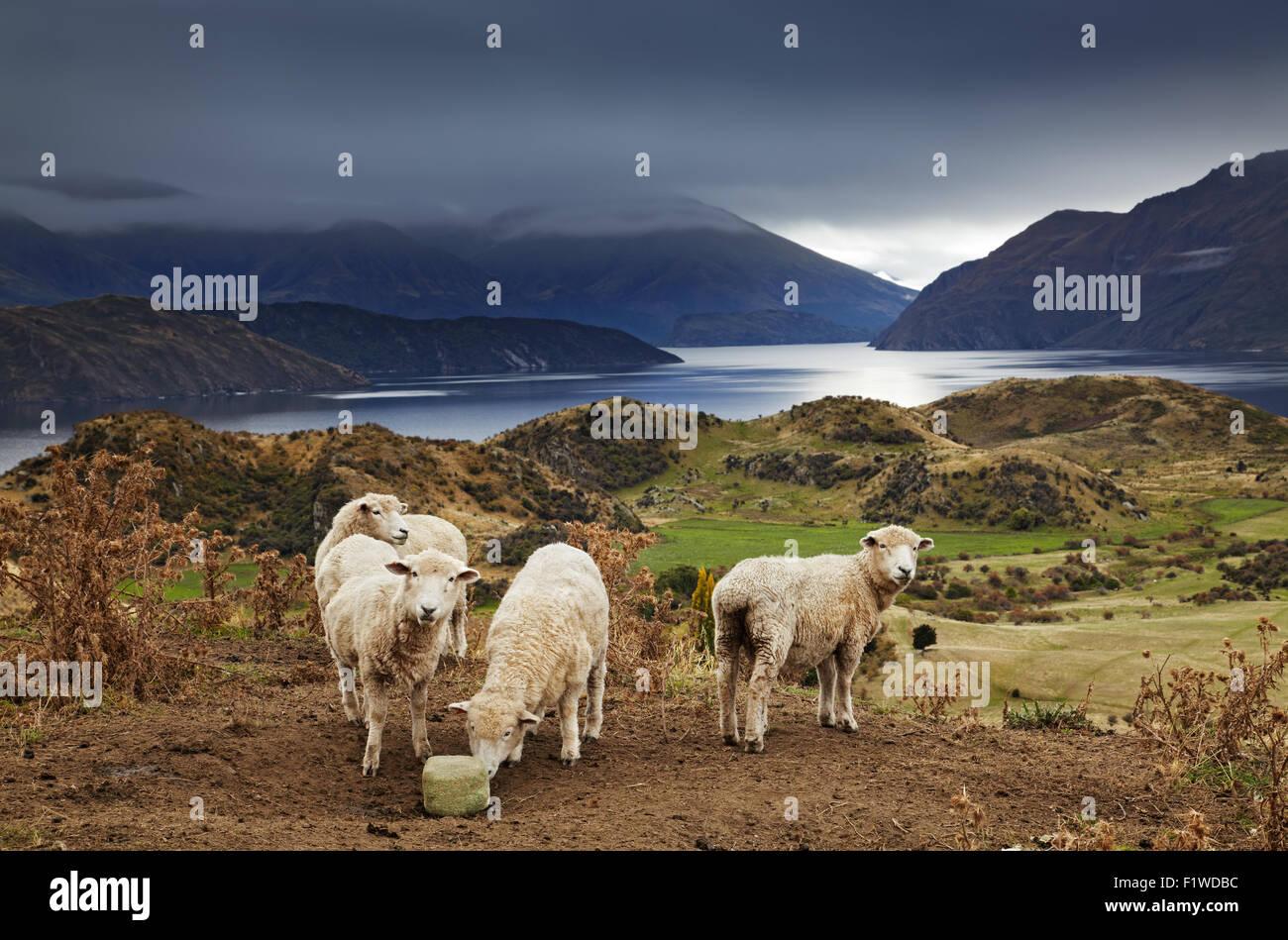 Ovejas lamiendo la sal, Monte Roys, Wanaka, Nueva Zelanda Foto de stock
