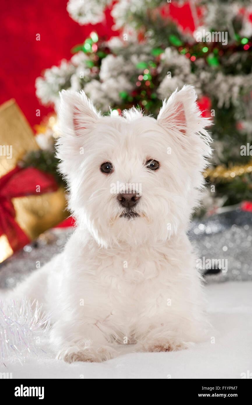 West Highland White Terrier Westie adulto sentado decoración navideña Alemania Foto de stock