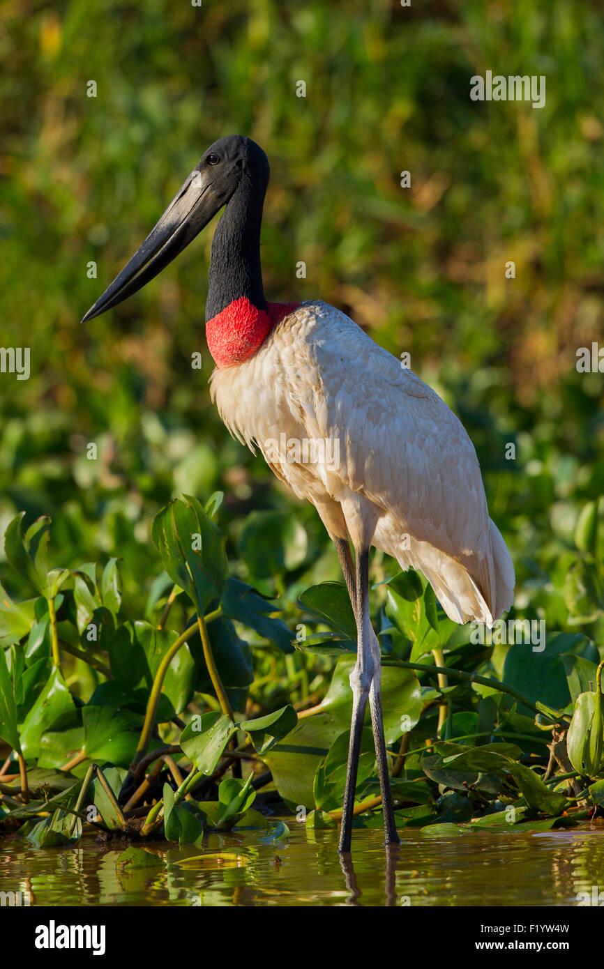 Jabirú (Jabiru mycteria) Adulto aguas someras permanentes Pantanal Brasil Foto de stock