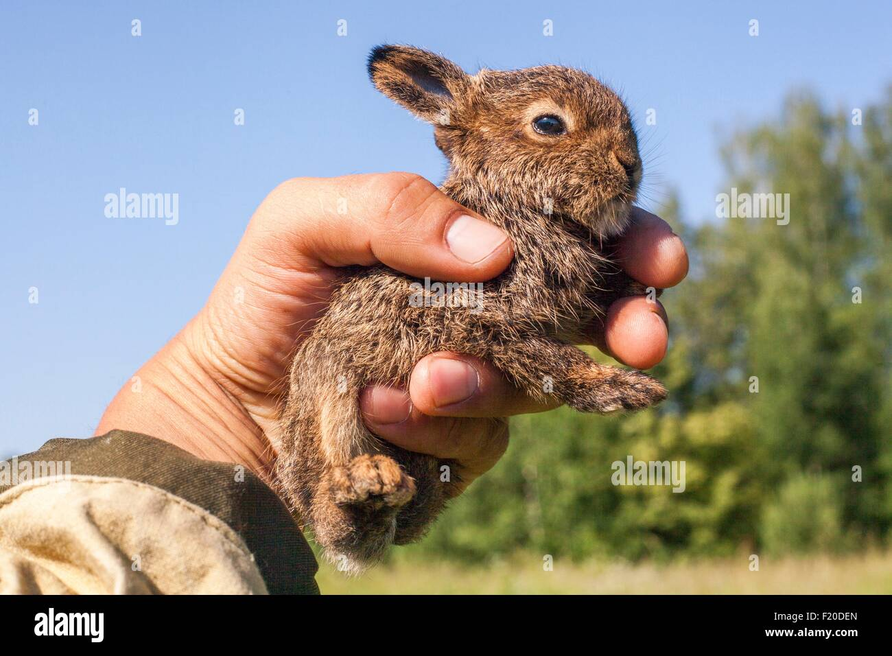 Cerca de machos mano sosteniendo un pequeño conejo de menores Imagen De Stock