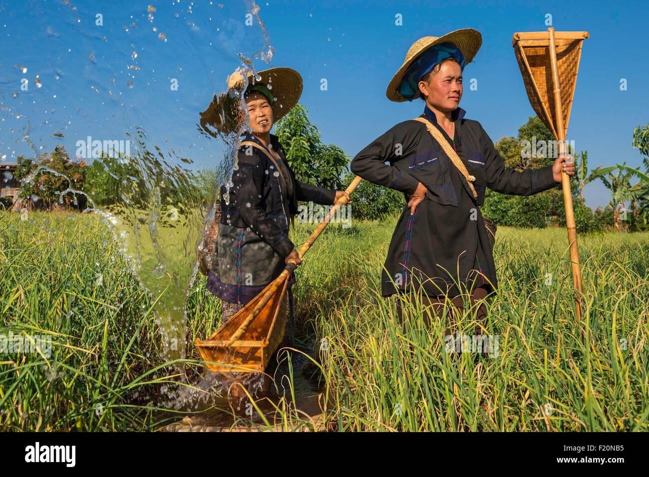 Myanmar (Birmania), el estado de Shan, Pao de tribu, Kakku, manual de riego de un campo de ajo Imagen De Stock