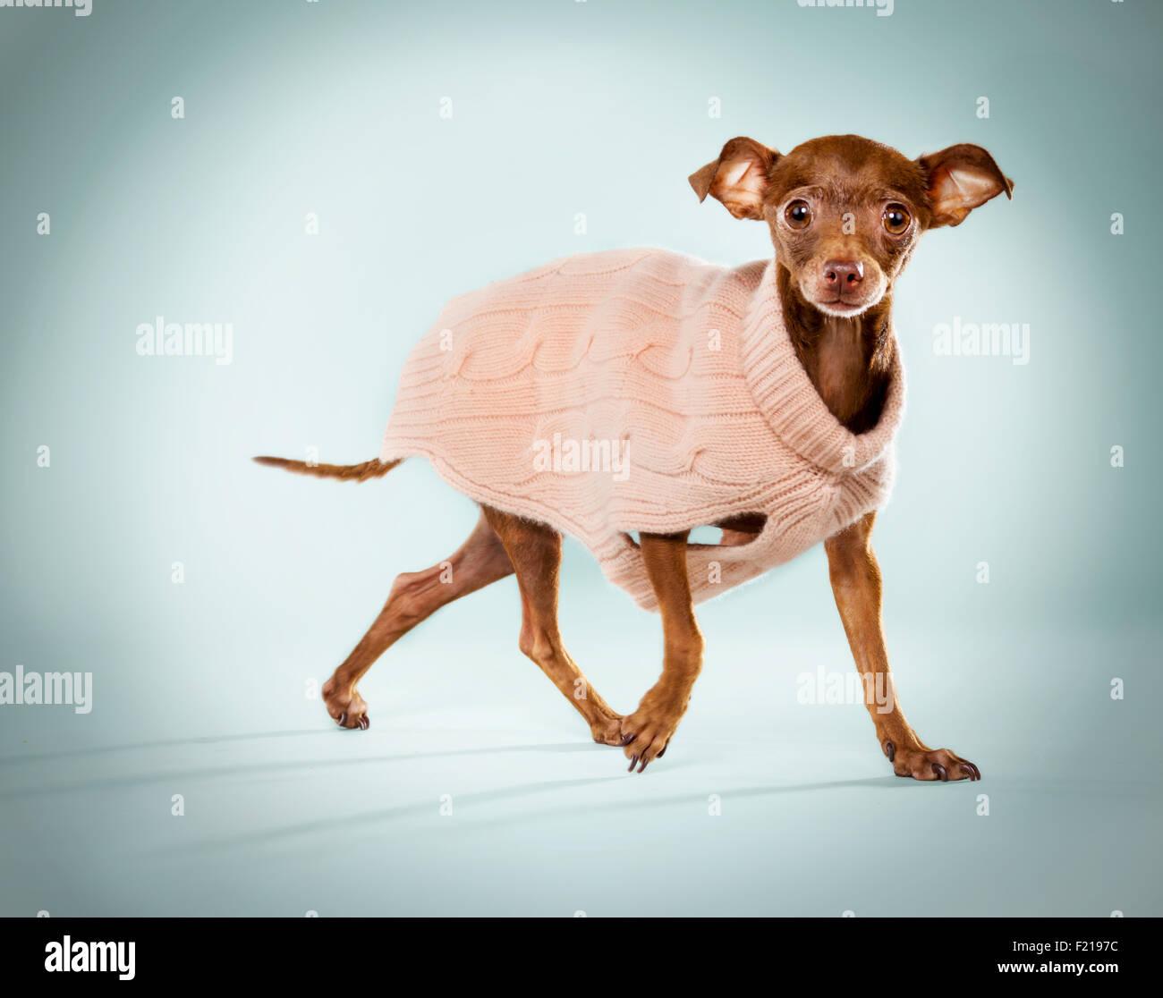 Jengibre chihuahua en un suéter rosado en el studio como telón de fondo. Imagen De Stock