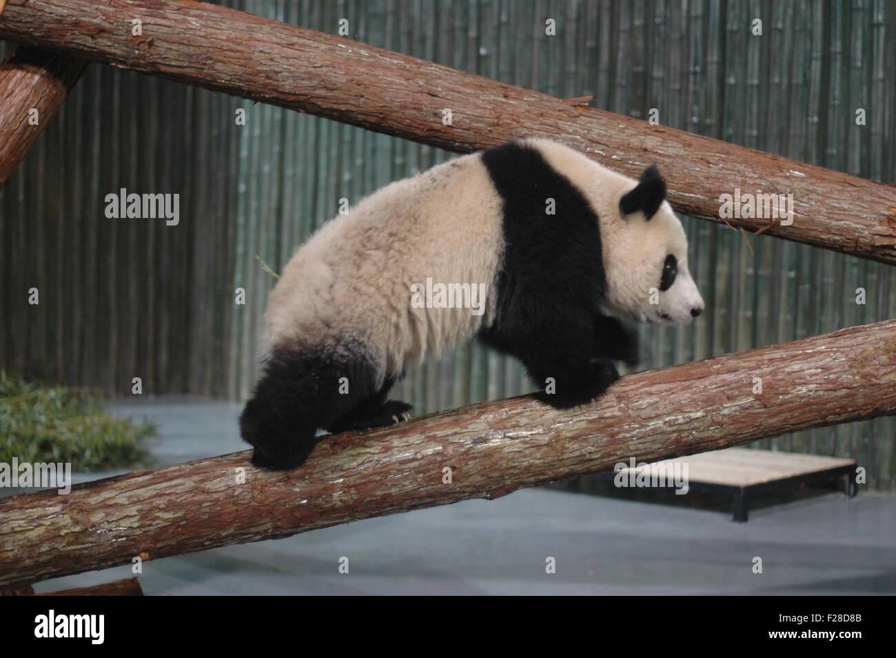 Un panda gigante para la Expo Mundial 2010 es visto en el zoo de Shanghai, 5 de enero de 2010. Diez pandas gigantes Imagen De Stock