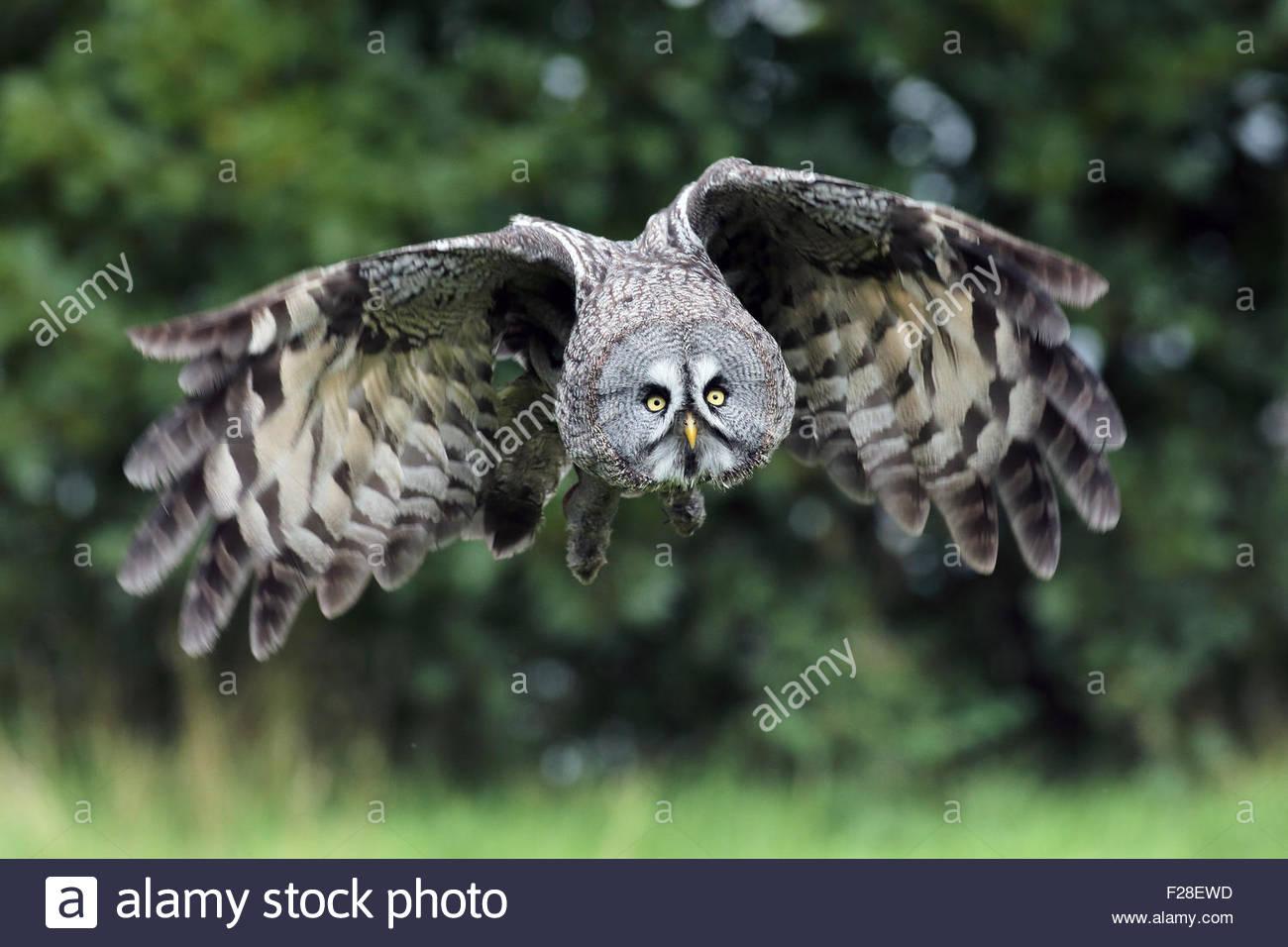Un gran Búho gris en vuelo a través de una pradera. Imagen De Stock