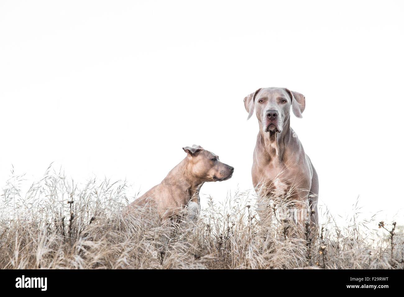 Y Pitbull Weimaraner de pie en medio de la altura en el campo de hierba seca, uno hacia un camino equivocado, el Imagen De Stock