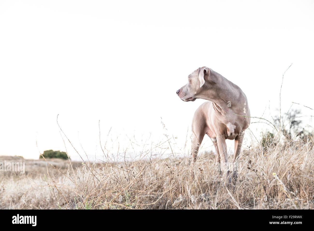 Perro Weimaraner adulto de pie frente a la cámara, mirando a un lado en un campo estéril seco, espacio Imagen De Stock