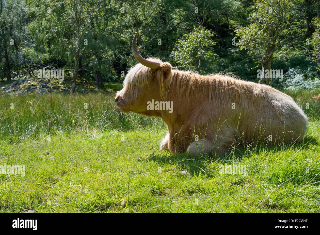 Highland Cow en el campo en el sur de Lake District, Cumbria, Inglaterra. Foto de stock