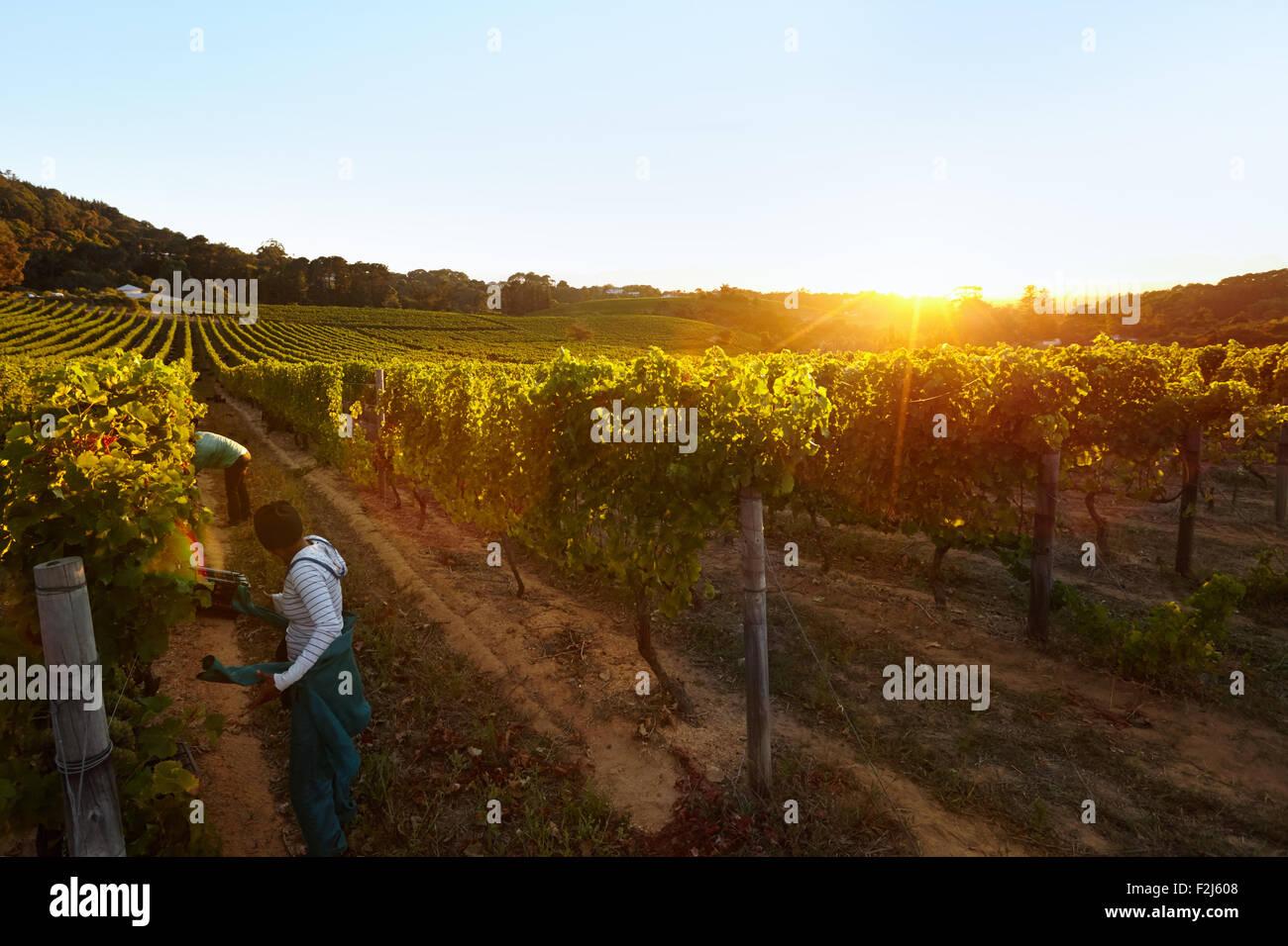 Fila de vides con trabajadores que trabajan en la granja de la uva. La gente cosechando uvas en la viña. Imagen De Stock