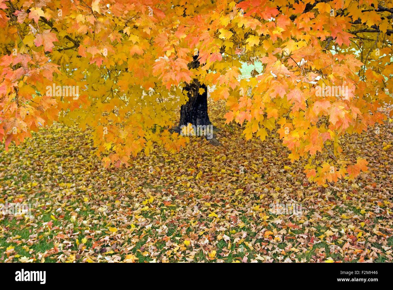 Hermoso Árbol de arce en otoño en formato horizontal Imagen De Stock