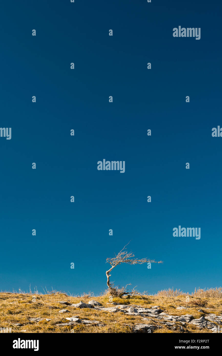 Lone, Bent espino contra el azul claro del cielo, el Burren, Co Clare, Irlanda Foto de stock