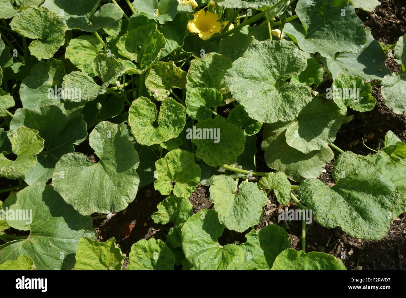 Cucumber mosaic virus (CMV, síntomas en una planta de calabaza, Cucurbita spp., Hampshire, en agosto. Imagen De Stock