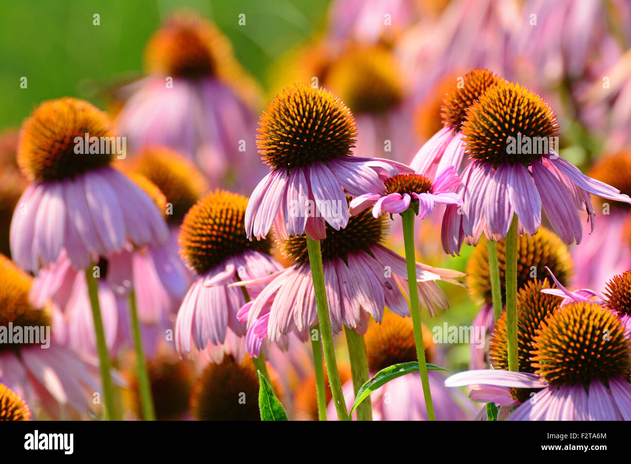 Coneflower púrpura (Echinacea purpurea) Foto de stock