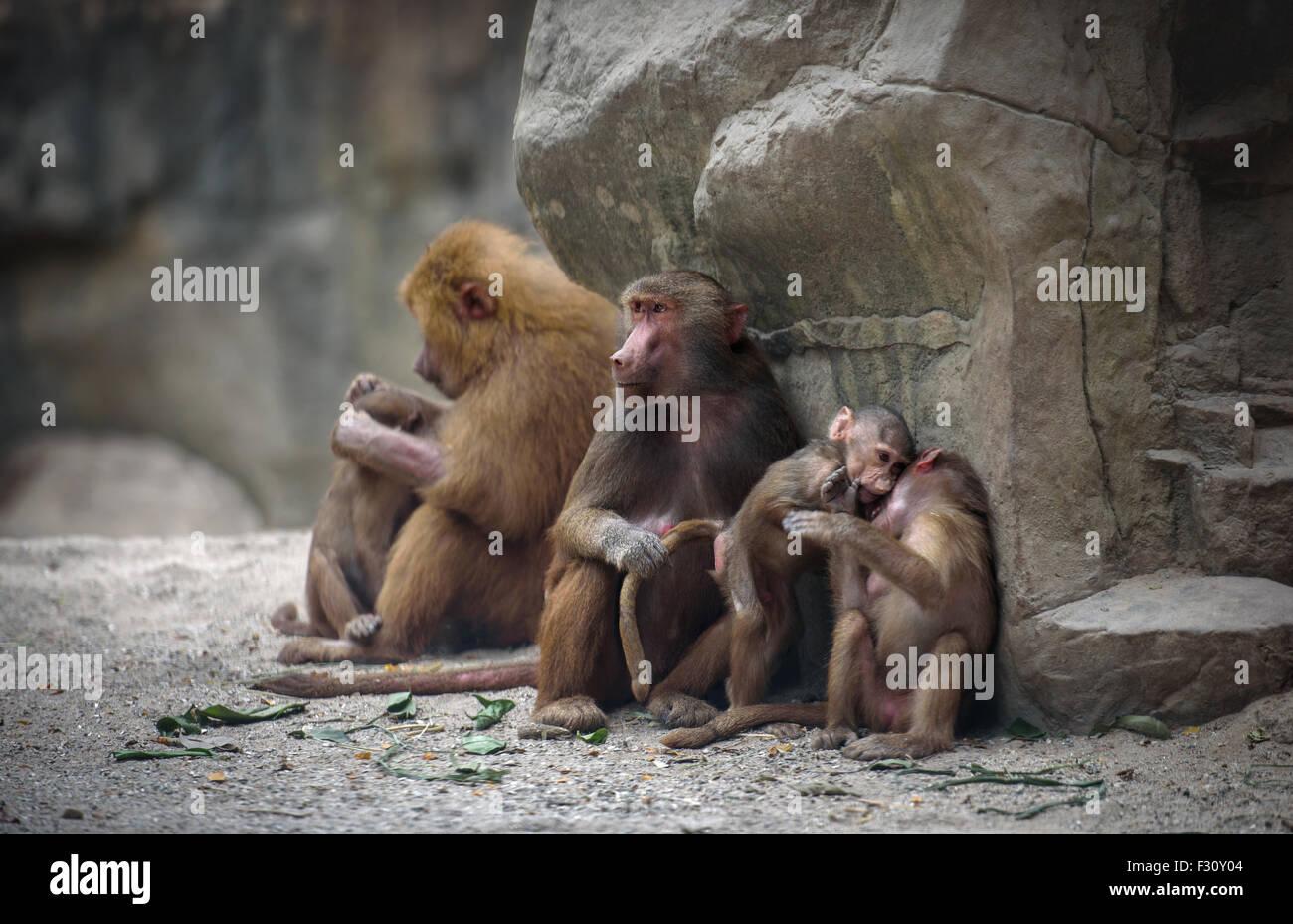 Familia de monos babuinos Hamadryas con sus bebés en reposo Imagen De Stock