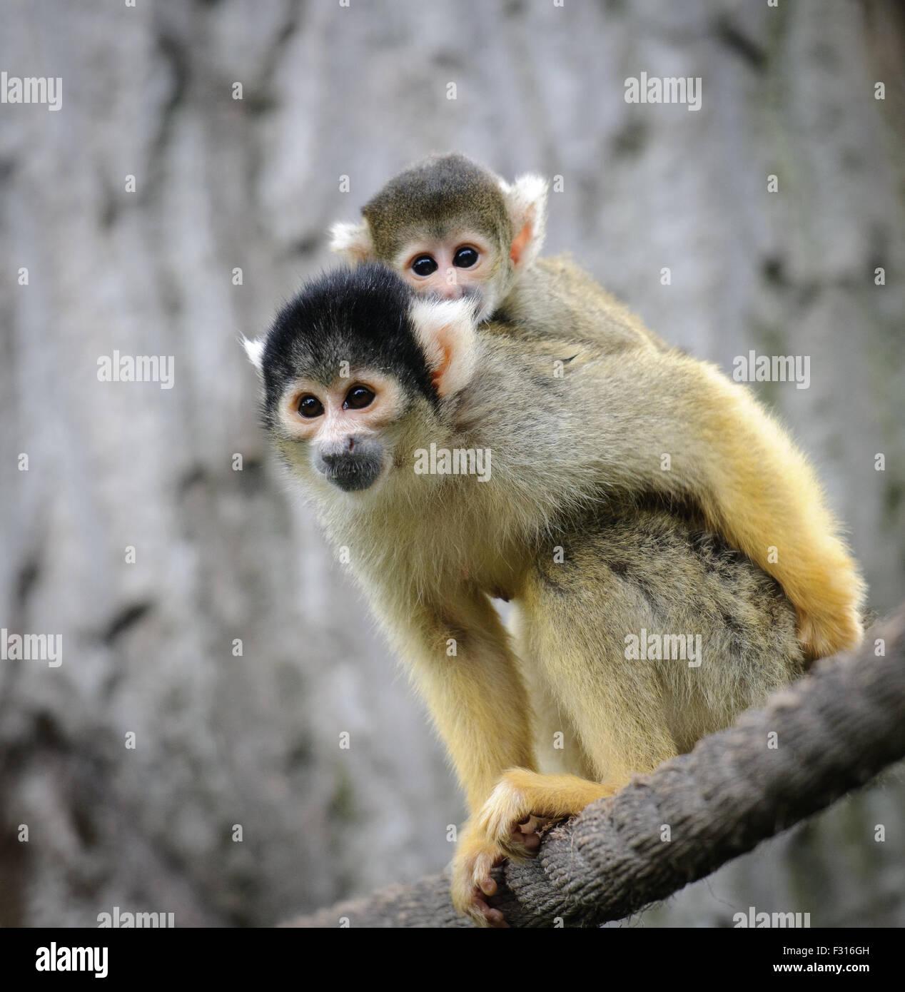 Black-capped mono ardilla con su lindo bebé en zoo Imagen De Stock