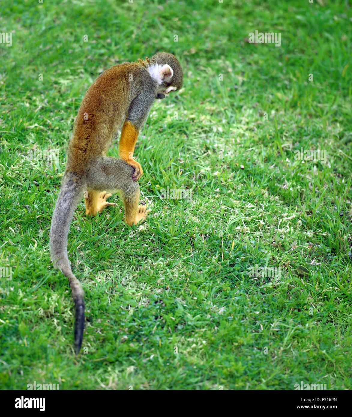 Mono ardilla buscando algo en la hierba Imagen De Stock