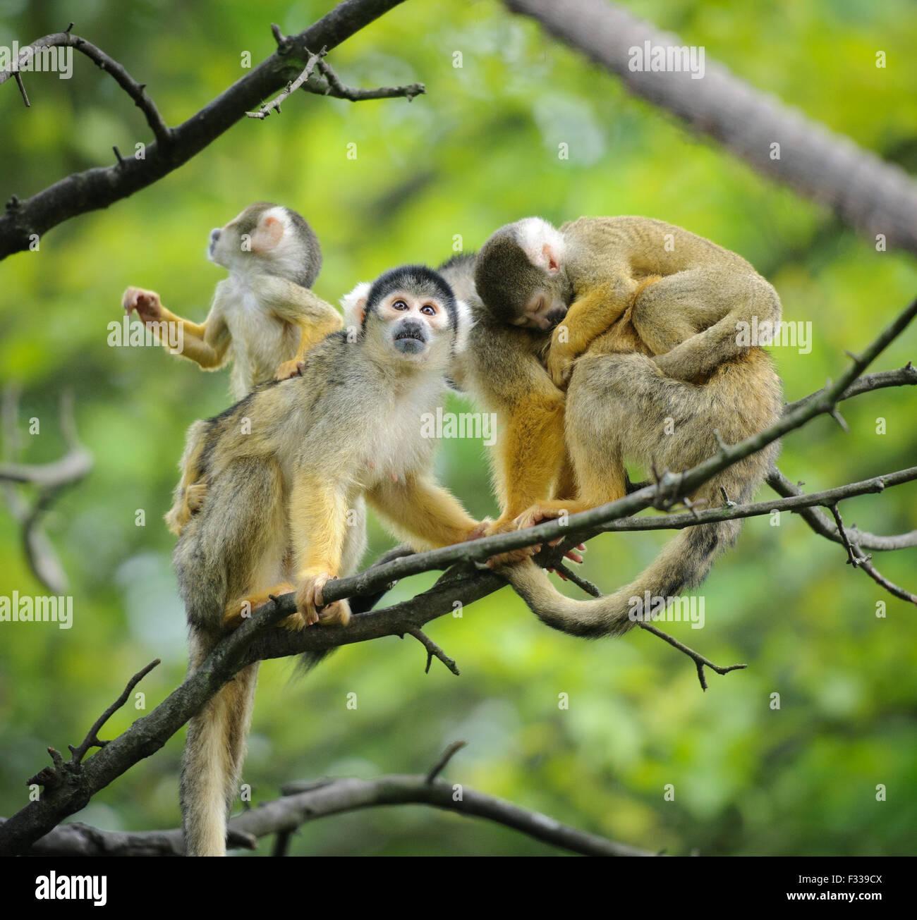 Black-capped monos ardilla, sentado en la rama de árbol con sus bebés cute little Foto de stock