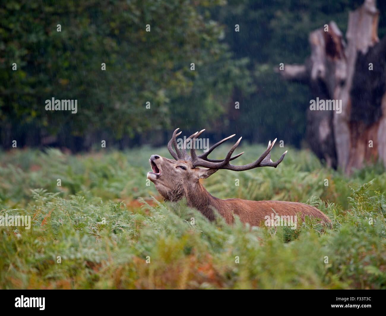 Ciervo rojo (Cervus elaphus) Stag mugidos durante el badén, Richmond Park Londres Septiembre Foto de stock