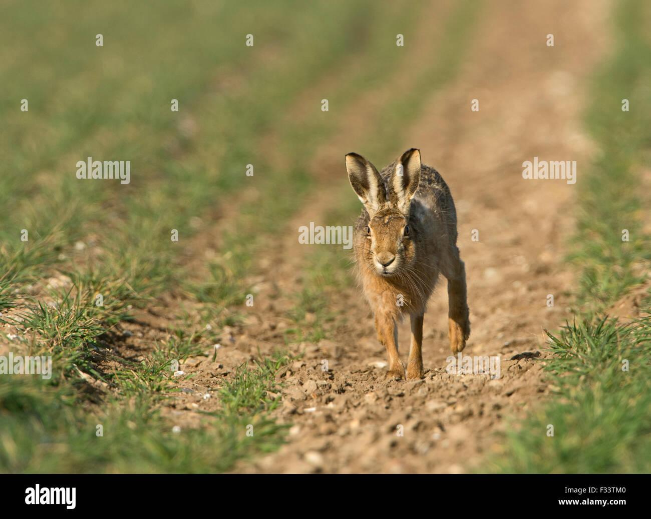 Brown, la liebre europea Lepus europaeus en campo de trigo de invierno Norfolk UK Marzo Imagen De Stock