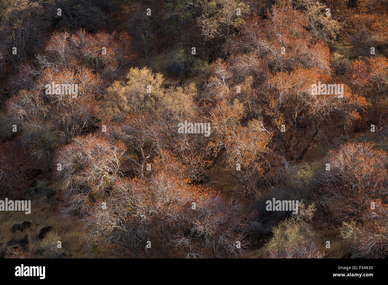 Buckeye árboles atrapar la luz de la tarde, Sequoia National Park, California, EE.UU. Foto de stock