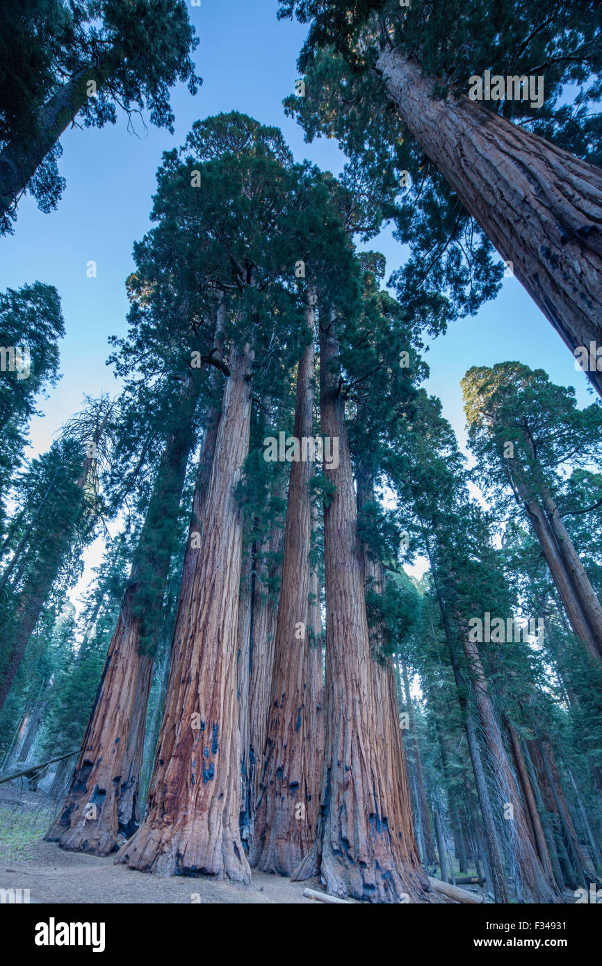 El Grupo Senatorial de secoyas gigantes en el Congreso Trail en Sequoia National Park, California, EE.UU. Imagen De Stock