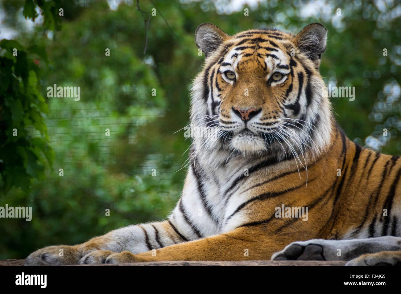 Relajante del tigre en el Zoo de Viena Imagen De Stock