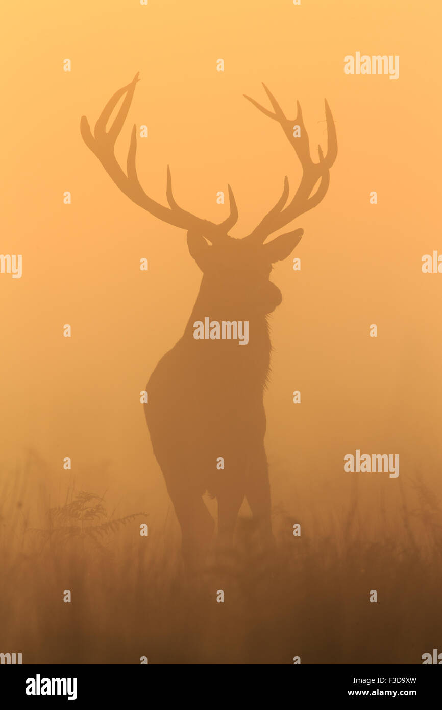 Stag at Sunrise en Richmond Park Imagen De Stock