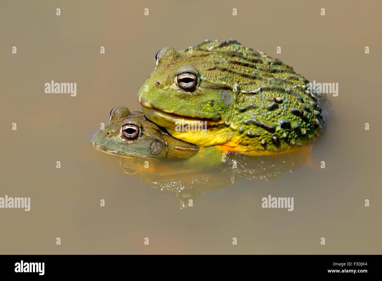 Un par de gigantes africanos bullfrogs (Pyxicephalus adspersus) apareamiento, Sudáfrica Imagen De Stock