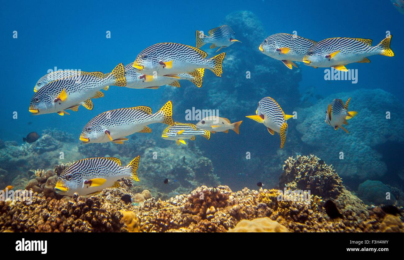 Cardumen de orientales (Sweetlips Plectorhinchus vittatus) sobre un arrecife de coral, Lombok, Indonesia Imagen De Stock