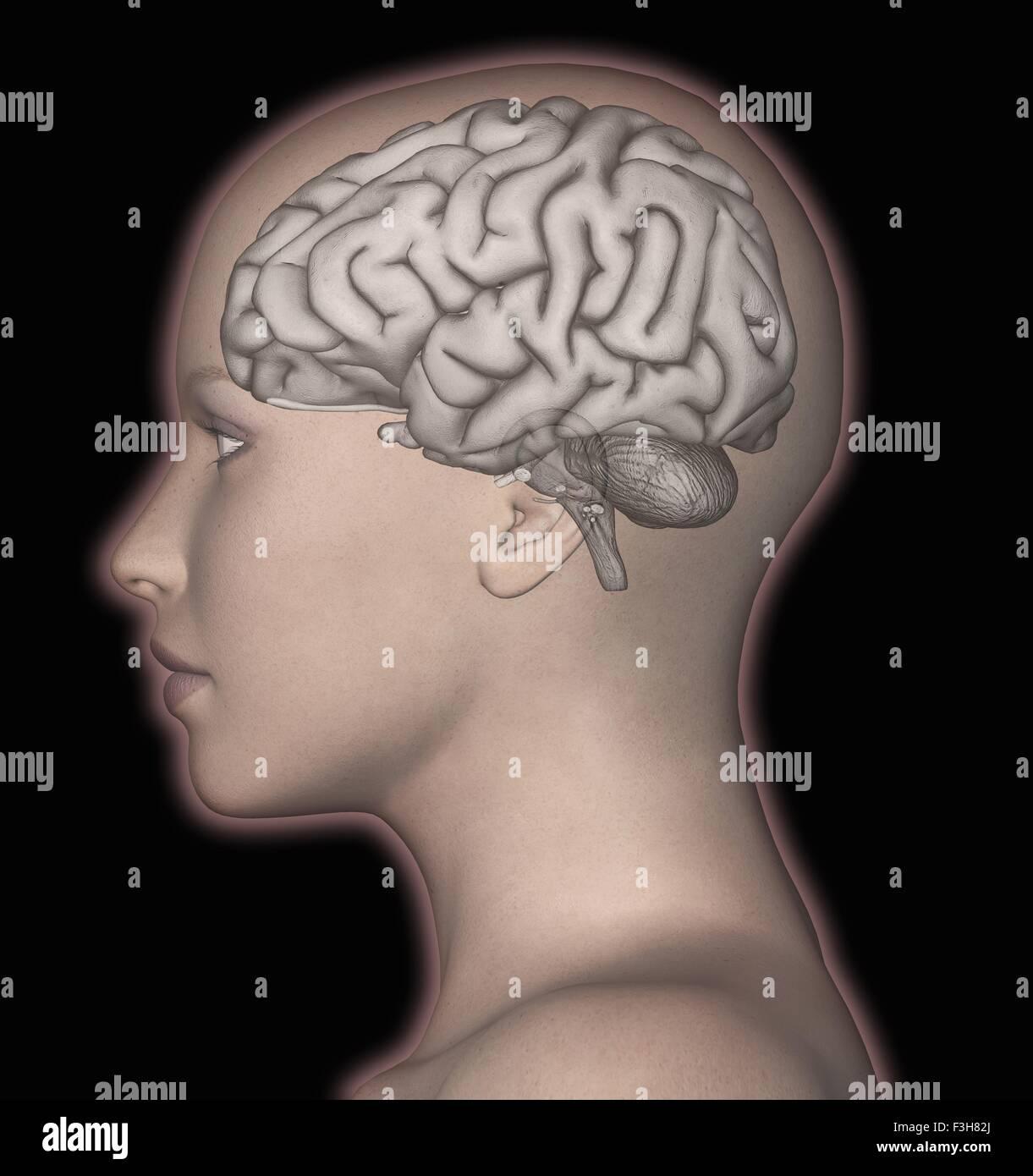 Representación 3D por computadora del cerebro humano superpuesta sobre la cabeza de una mujer Imagen De Stock
