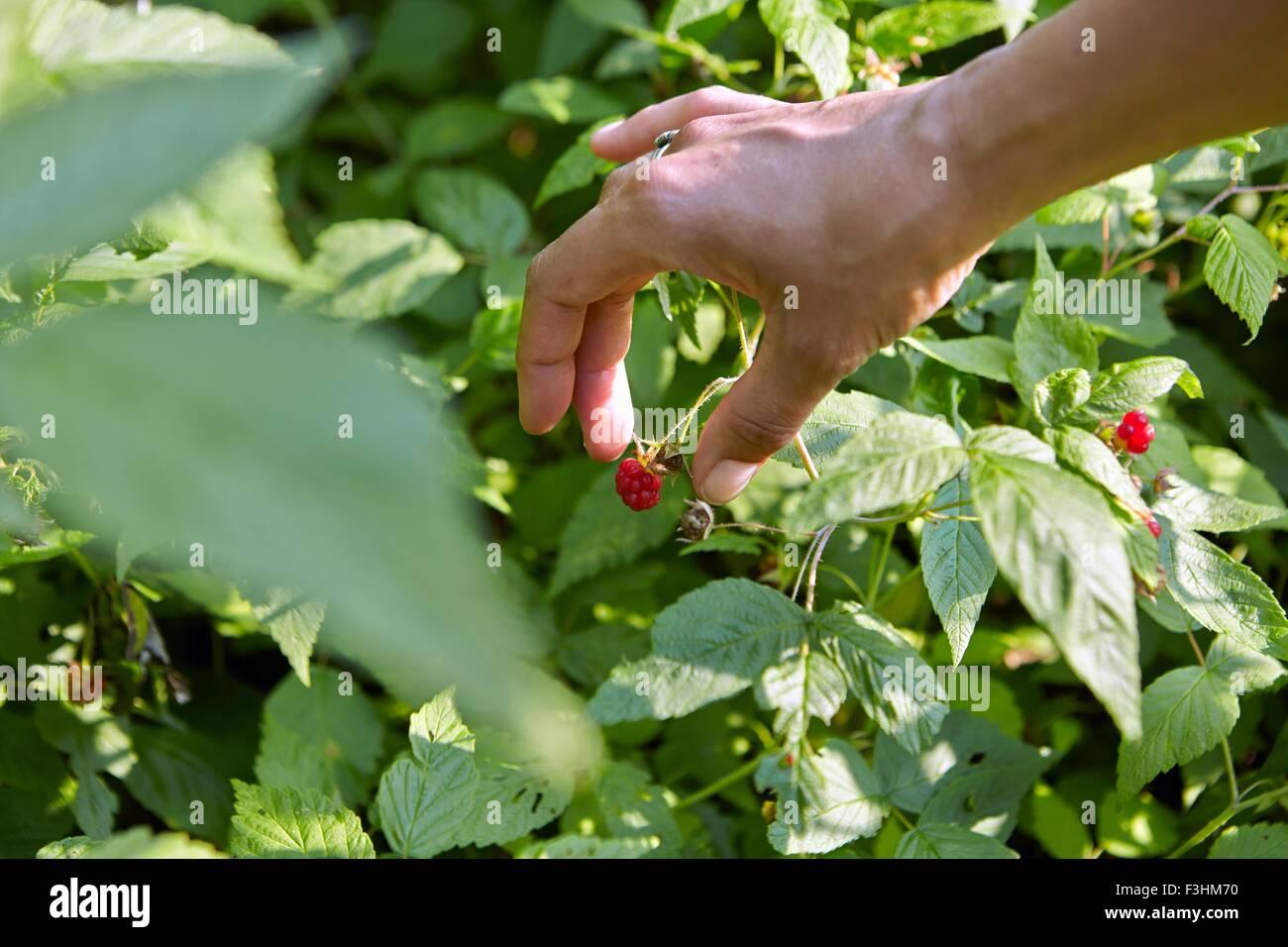Mano de mujer recogiendo frambuesa. Imagen De Stock