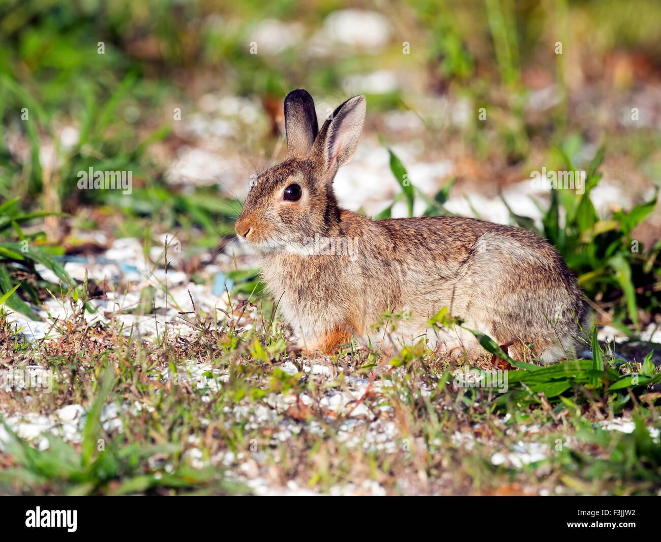 Cottontail Rabbit Imagen De Stock