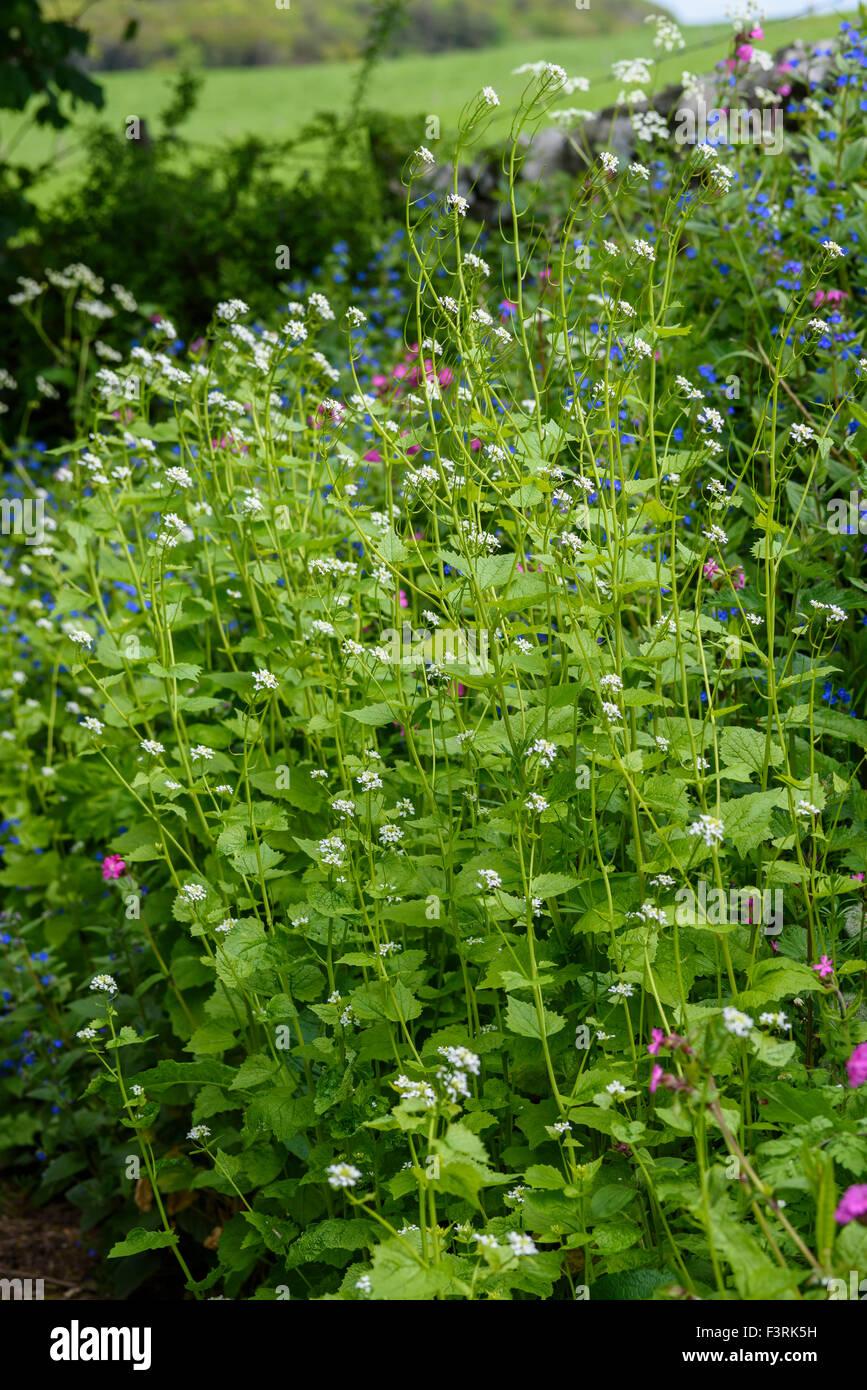 Alliaria petiolata ajo, mostaza, wildflower, Dumfries y Galloway, Escocia Foto de stock