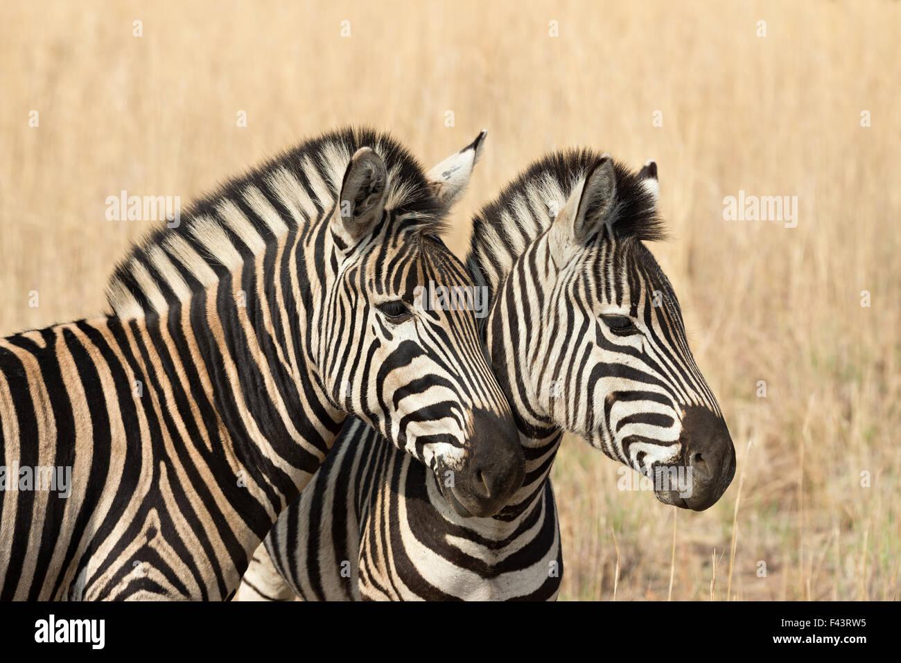 Dos cebras de Burchell (Equus quagga burchellii) en una sabana de hierba dorada en seco, el Parque Nacional Pilanesberg, Imagen De Stock