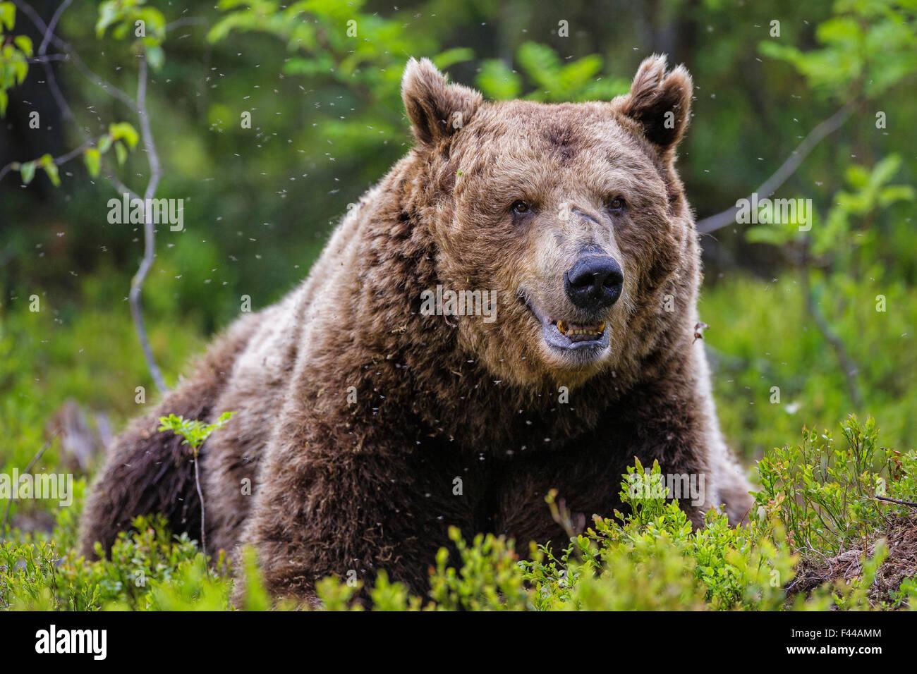 Unión oso pardo (Ursus arctos arctos), un macho grande tomando un descanso en una nube de mosquitos. Kajaani, Imagen De Stock