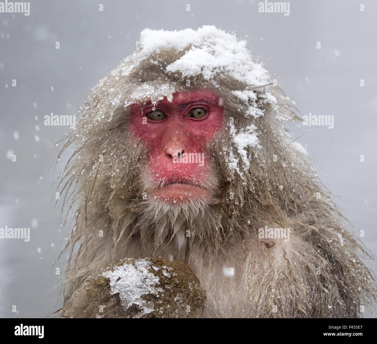 El macaco japonés (Macaca fuscata) madre sosteniendo a su bebé en la tormenta de nieve, Jigokudani, Japón. Imagen De Stock