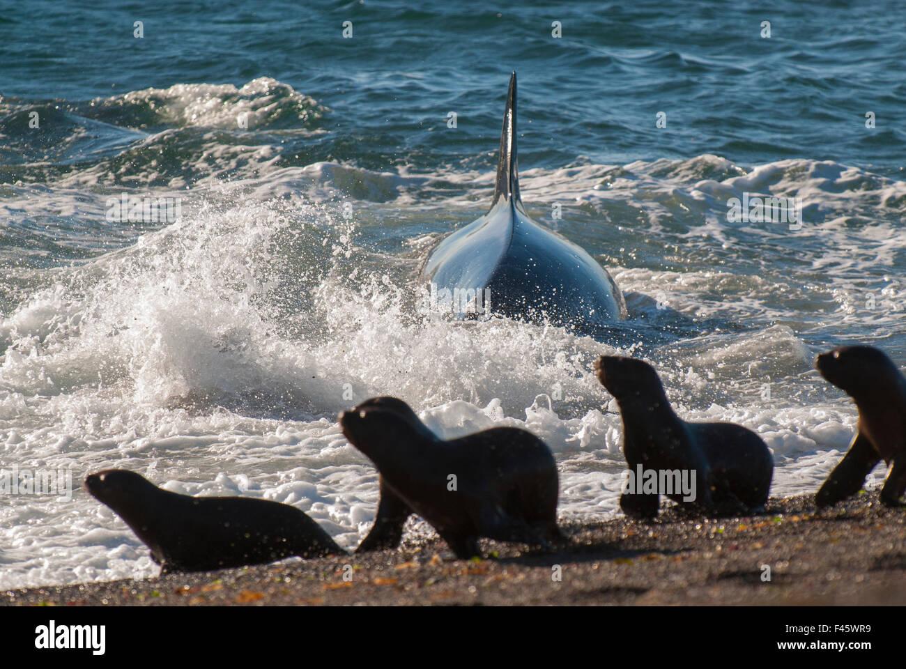 Orca Orcinus Orca La Caza De Lobos Cachorros Península Valdés