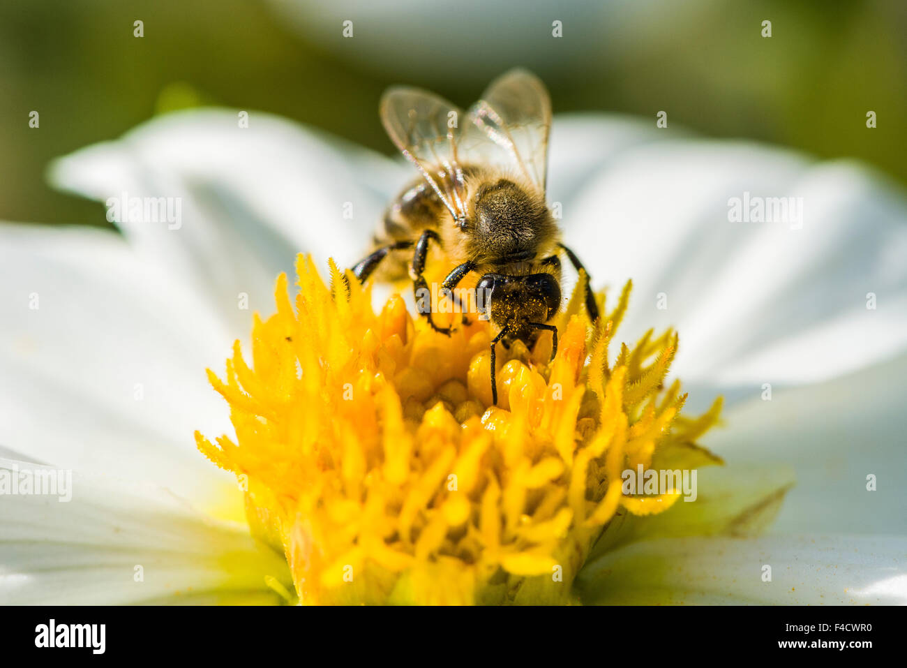 Un carniolan de abejas (Apis mellifera Carnica) está recogiendo el néctar de una flor Dalia (Asteraceae) Foto de stock