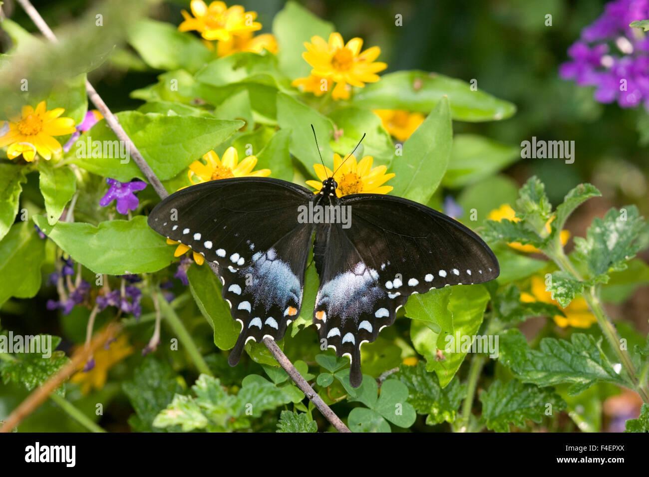 Spicebush especie (Papilio Troilo) hembra sobre millones de Oro (Melampodium Melampodium paludosum) Marion Co. IL Foto de stock