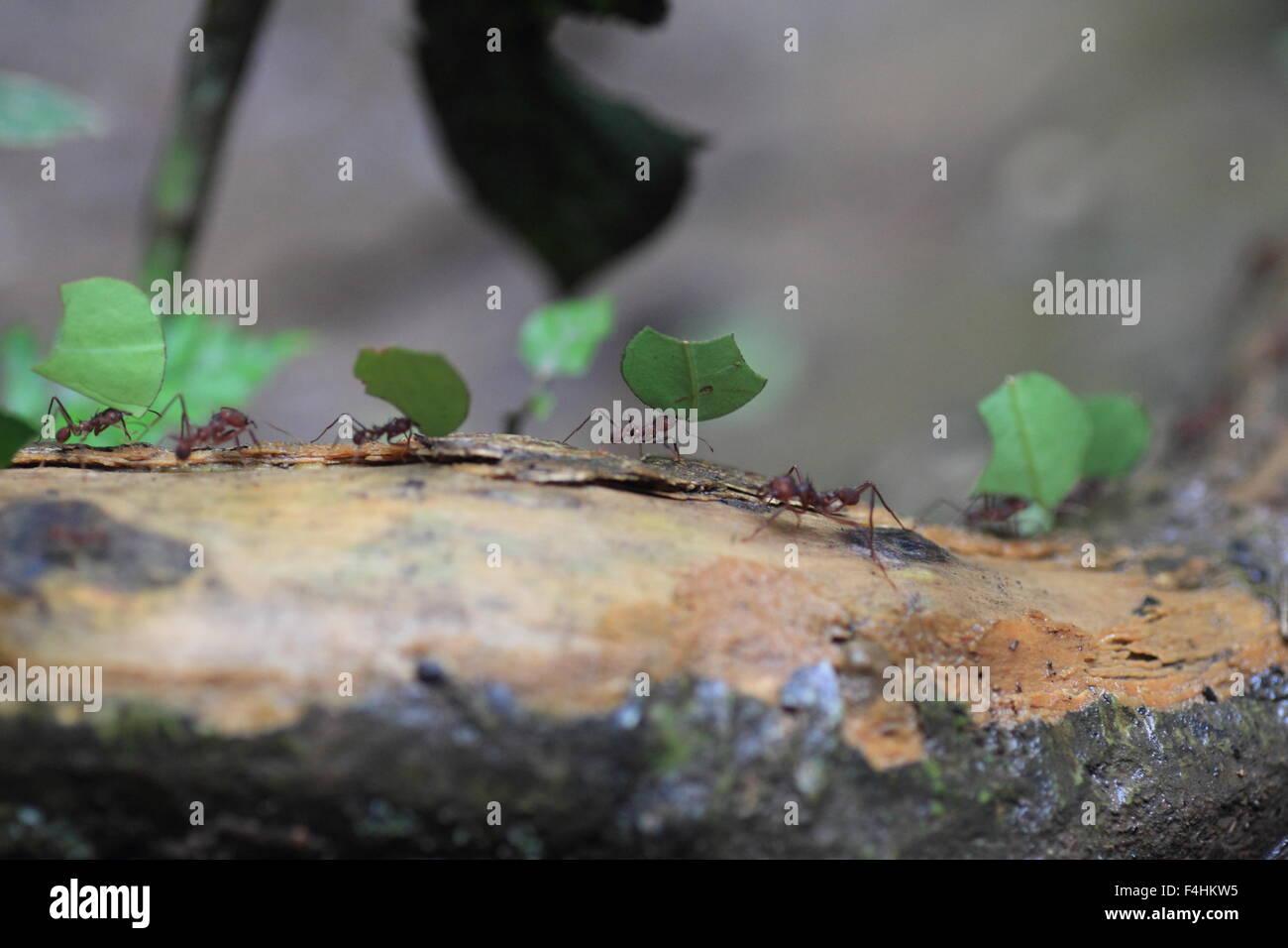 (Atta sexdens Leafcutter hormigas). La vida silvestre animal. Imagen De Stock