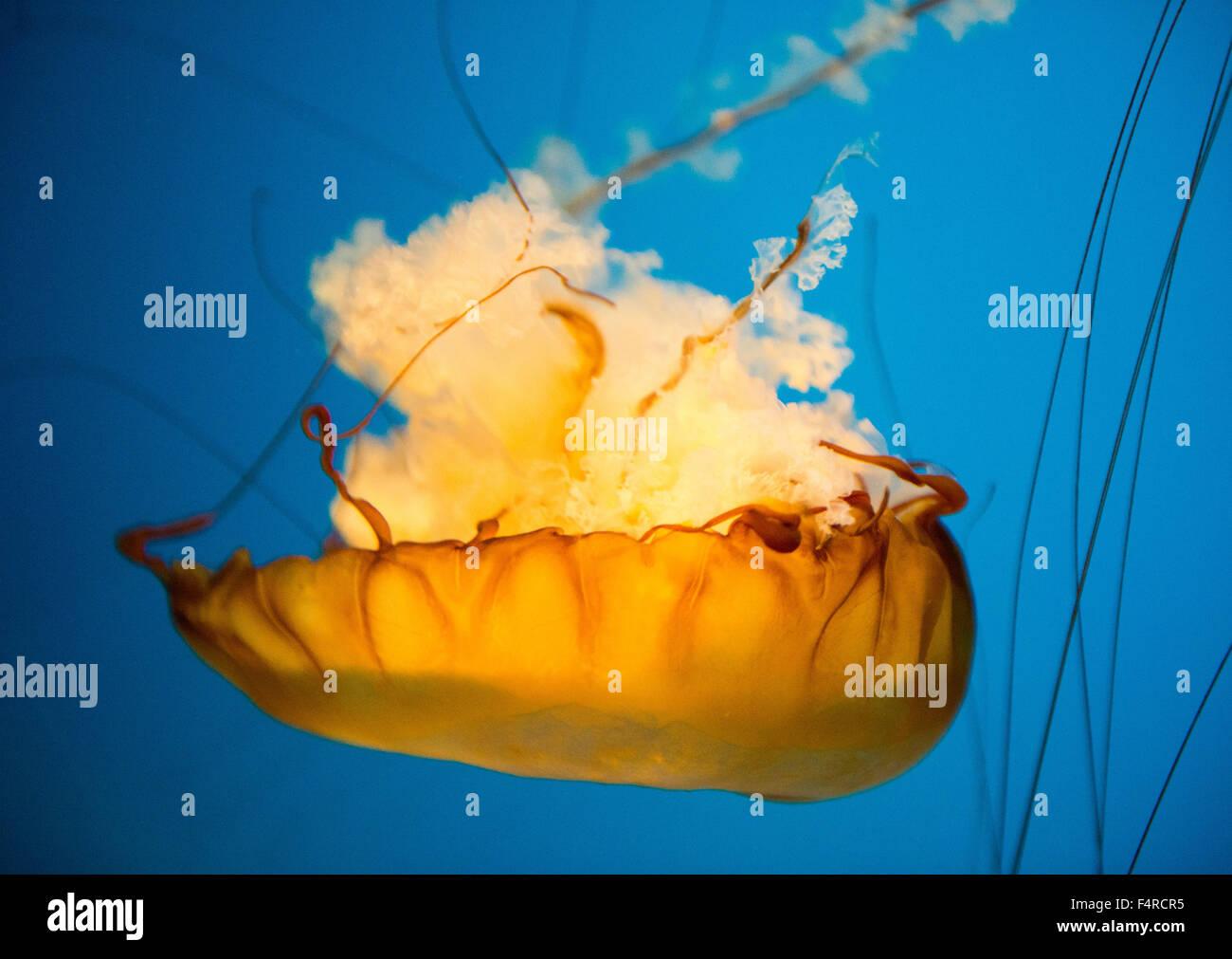 Ortiga de mar medusas en la pantalla en un tanque en el Acuario Nacional en Baltimore, Maryland, EE.UU. Imagen De Stock